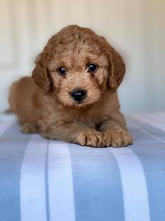 Apricot Bordoodle Puppy Border Collie Puppy