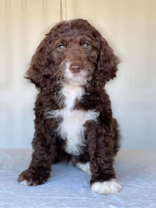 Chocoloate Spoodle Puppy