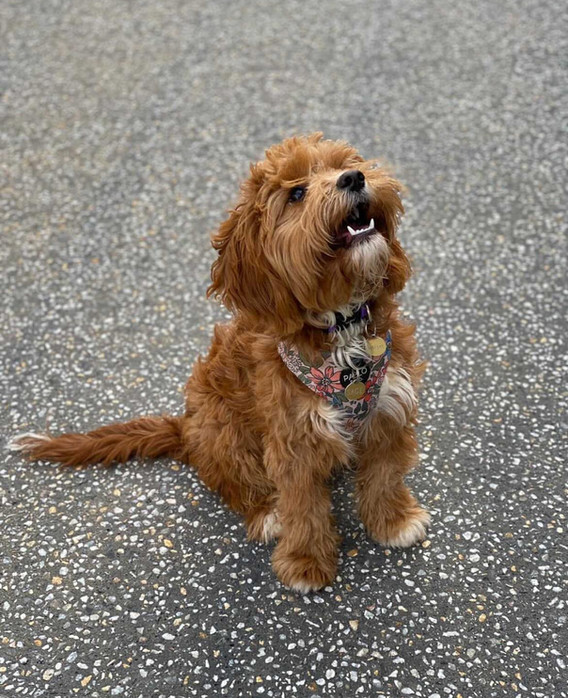 Sage Adelaide Cavoodles Red F1 Cavoodle