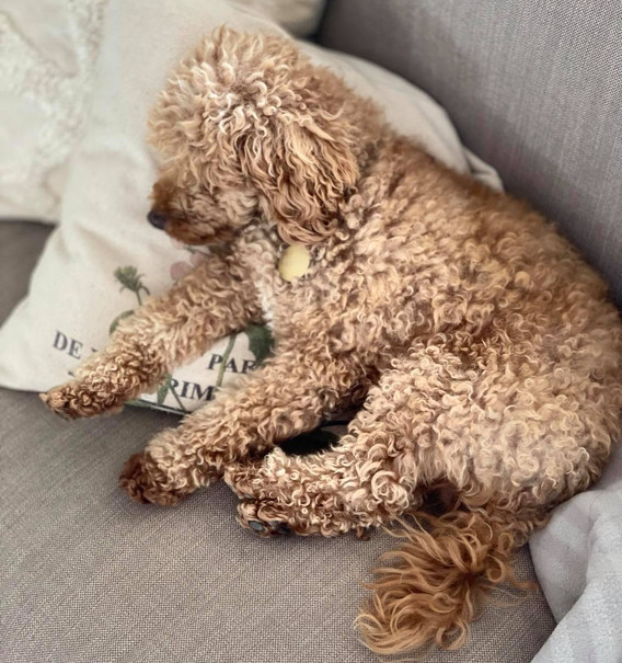 Theodore 5 Years Old Toy Poodle