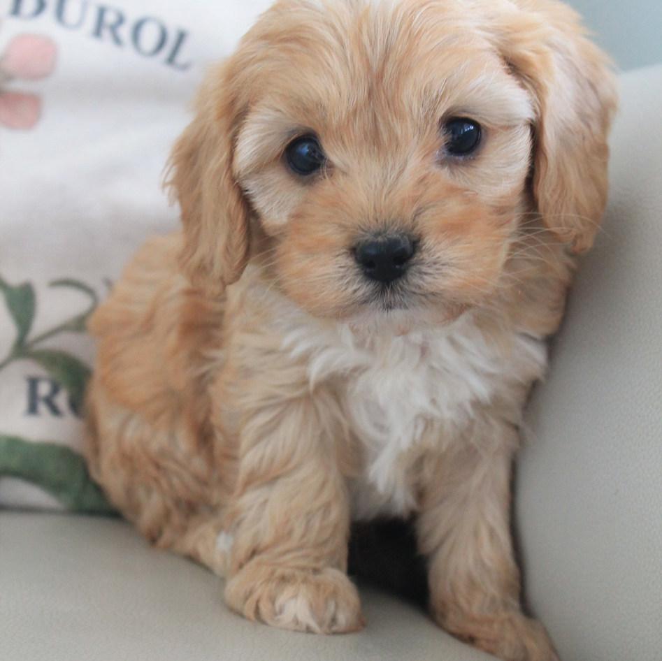 Wilbur Cavoodle Puppy Adelaide
