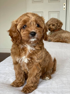Red Cavoodle Puppy Adelaide Cavoodles