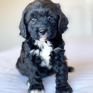 Kiera Adelaide Cavoodles Puppy .jpg