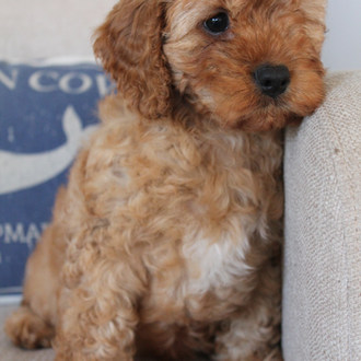 Frank Cavoodle Puppy Adelaide