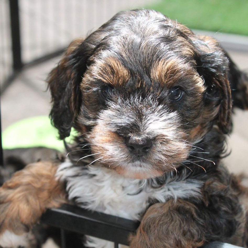 Kea Sable Adelaide Cavoodle Puppy