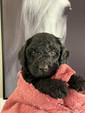 Black Bordoodle Puppy Border Collie Puppy