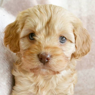 Waffles Cavoodle Puppy Adelaide .jpg