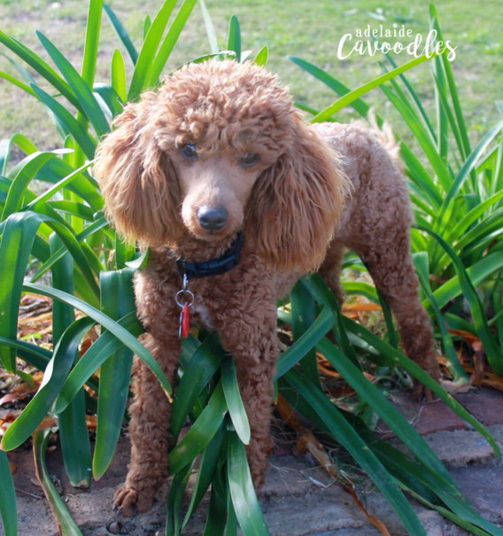 Theodore 1.5 Years Old Toy Poodle