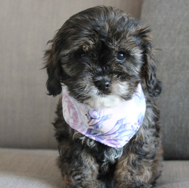 Poppy Sable Adelaide Cavoodle Puppy