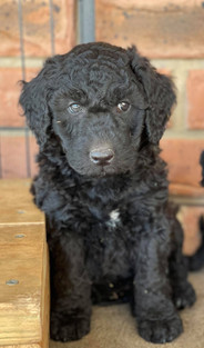 Black Bordoodle Puppy .jpg