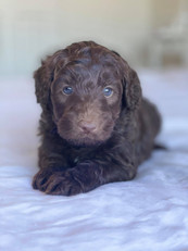 Chocolate Bordoodle Puppy Border Collie Puppy