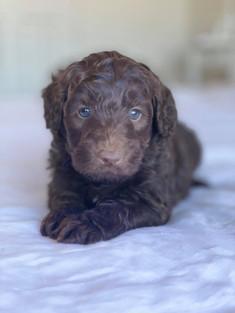 Chocolate Bordoodle Puppy Border Collie Puppy