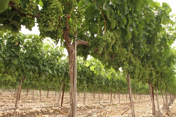 יקב אלונה – סיפור על אהבה ויין, אוגוסט 2007, אכול ושאטו