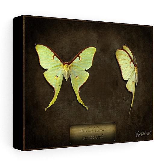 "Gothic Graffiti™ ""Actias luna"" Luna Moths on Stretched Canvas"
