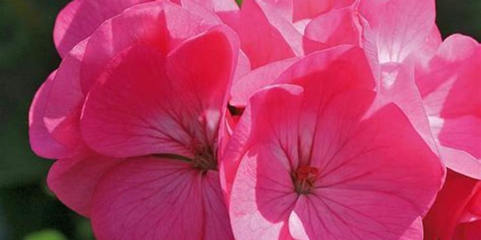 August Virtual Restorative Aroma Yoga Featuring Geranium Rose