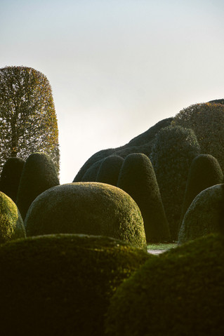 68_Buxus_sempervirens_Taxus baccata _Car