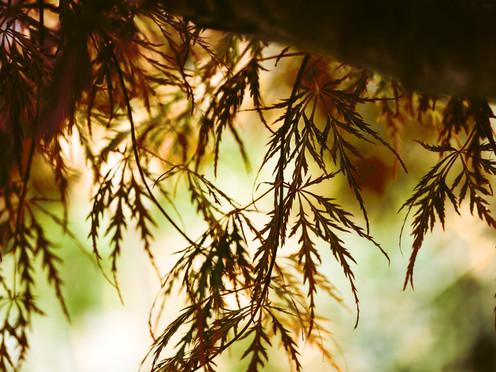 34_Acer_palmatum_Dissectum.jpg