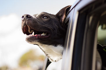 black dog smiling out the back window of a car during pet taxi ride
