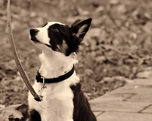 black and white haired dog with collar on leash while out for a walk