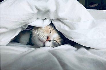 Multi-colored cat snuggled in white bedding