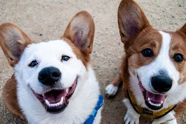 Up close camera shot of two white and tan dogs smiling at the camera
