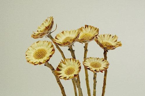Natural compacta protea