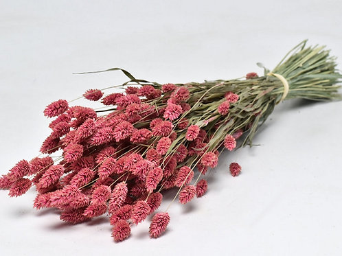 Dark pink phalaris