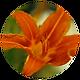 Daylily.png
