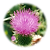BlessedThistle1-150x150.png