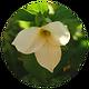 White_Trillium.png