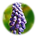 Grape_Hyacinth.png