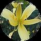 Yellow-Daylily.png