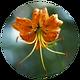Himalaya_Lily.png