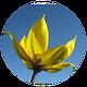 Wild_Yellow_Tulip.png