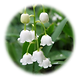 Lily-of-the-Valley.png