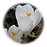 White_Crocus.png