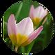 Wild_Pink_Tulip.png