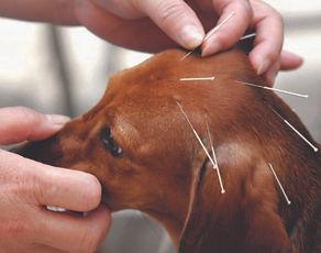 acupuncture, animals