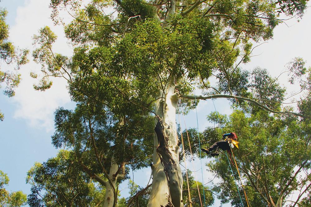 Treeclimber a Villa Emo