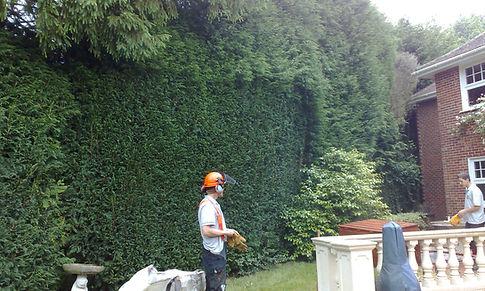 Abattage Rabattre de haie de cèdre & petit arbuste.