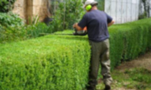 Abattage et Rabattre de haie de cèdre et petit arbuste.