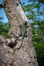 Stromový ještěrák