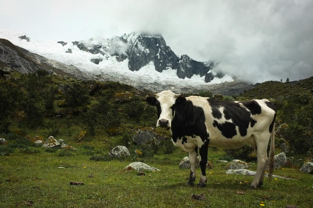 Krávy zlodějky