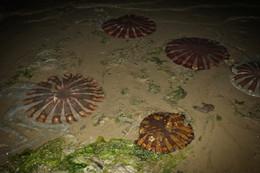 Paracas medúzky