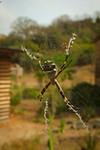 pavoučák