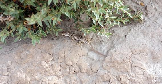 Darwin´s lizard
