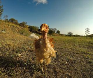 Mr. kuře