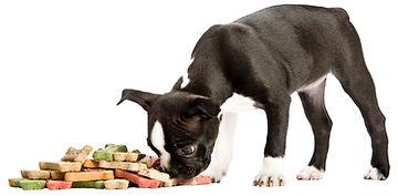 cute puppy eating buscuit bones
