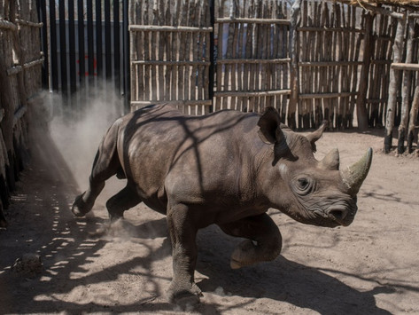 Donan rinocerontes a Ruanda para salvar la especie