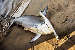 Tubarão Martelo Juvenil